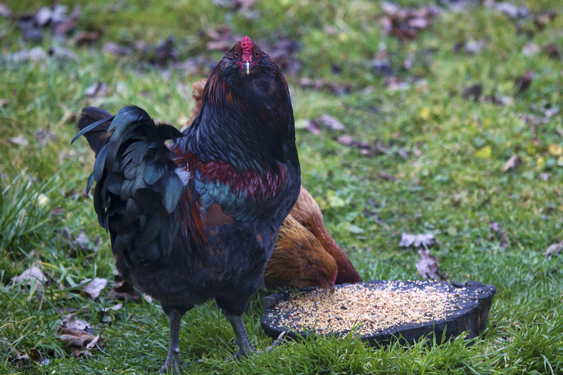 Boredom Busters For Chickens